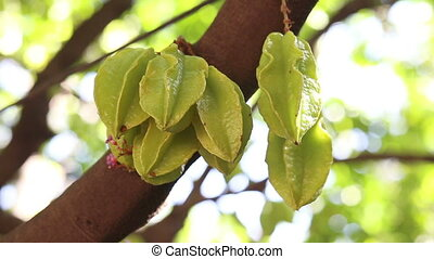 Green and yellow star apple fruits hanging on a tree with...