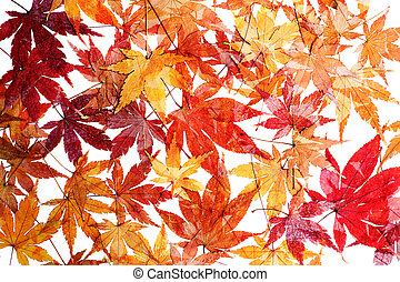 Dry Maple leaves on white background