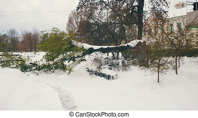 Abnormal Weather in April in the Spring. Fallen Trees After a Snowstorm