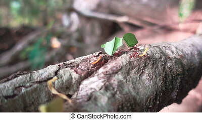 Leaf Cutter Ants carrying leaves to their nest in...