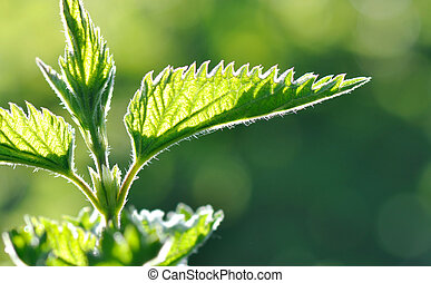 leaf od nettle - close on bright green leaf of nettle on...