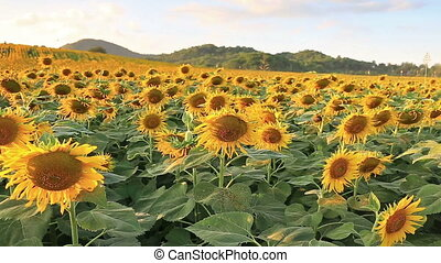 flowering sunflowers on a hill background and sunset time
