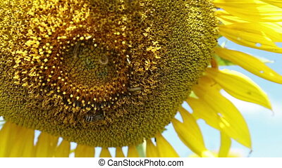 closeup beautiful sunflower blowing in the breeze at field on bright day with bee and insect