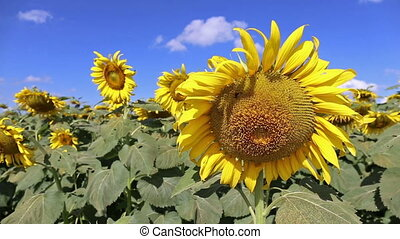 closeup beautiful sunflower blowing in the breeze at field...