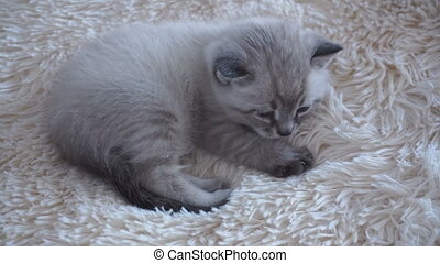 small cat lies on a blanket at home