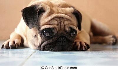 closeup cute pug dog on the floor