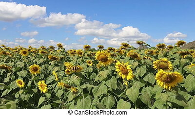 sunflower blowing in the breeze at field on bright day