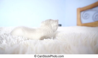 kitten on a fluffy blanket close up