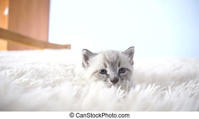kitten with blue eyes on a blanket close up