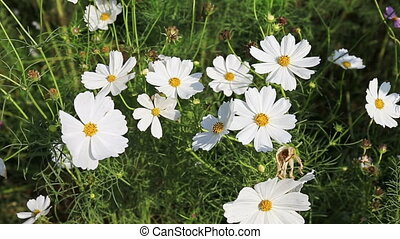 Beautiful cosmos flowers swaying in the breeze