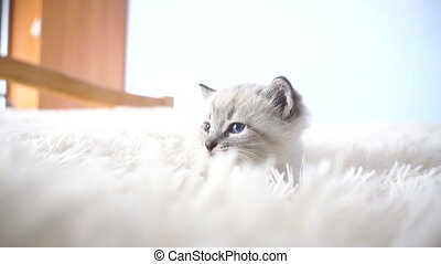 kitten with blue eyes on a fluffy blanket close up