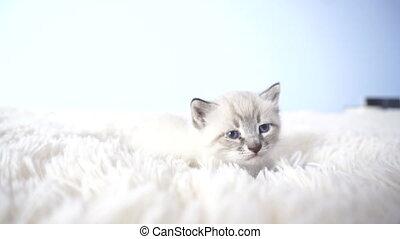 little kitten with blue eyes on a blanket