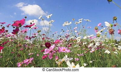 Beautiful cosmos flowers swaying in the breeze with blue sky...