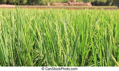 Green Jasmine rice plants in farm