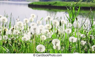 Dandelions on the riverbank of Moscow park in sunny day