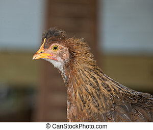 Pure breed hen in chicken coop - Pure breed hen in hen house...