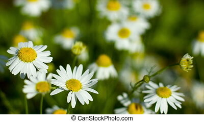 Few camomile on the field