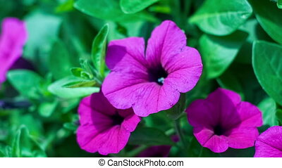 The flower of a purple petunia trembles on a wind, zoom out