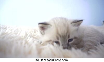 small kitten lying on the white blanket close up