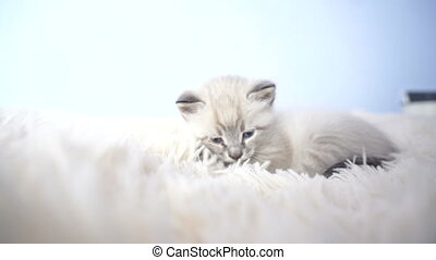little kitten with blue eyes on a blanket close up
