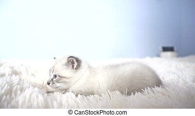 white kitten with blue eyes on a blanket close up
