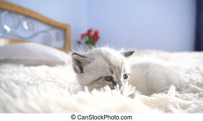 little white cat on a fluffy blanket at home