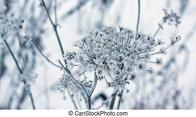 Cow parsnip, winter image, depth of field full hd 1920x1080p
