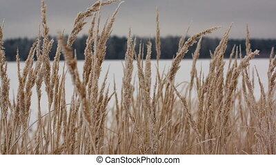 Field of winter wheat - Winter wheat swaying in the wind