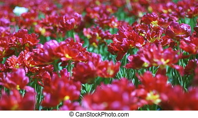 Beautiful large red Dutch tulips with dof