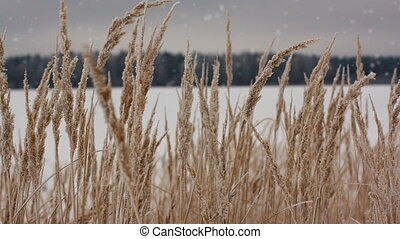 Field of winter wheat with snowflakes - Snowflakes falling...