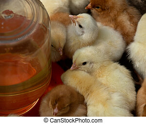 Mixed flock of pure breed chicks - Amish farm, mixed flock...