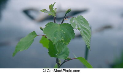 Leaf of linden against the water, full hd video footage...