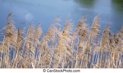 Cane on a background of blue water