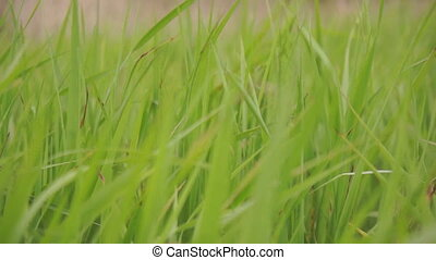 Green sedge grass sways in the wind, full hd 1080p