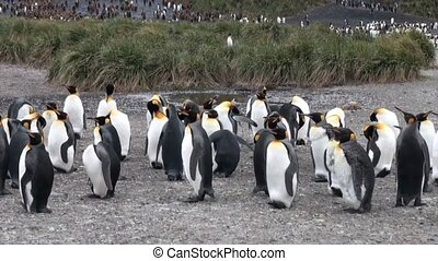 Imperial penguins on background of mountains Falkland...