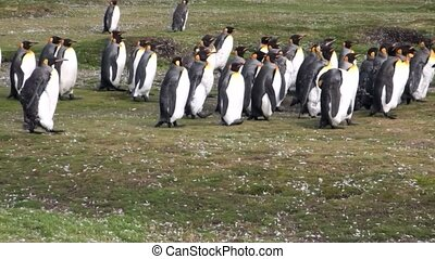 Imperial penguins on green Falkland Islands in Antarctica....