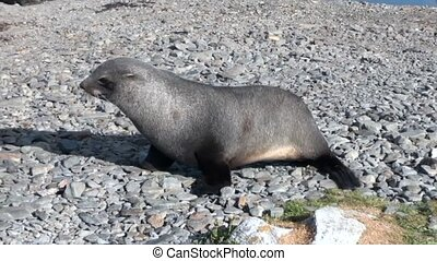 Newborn seal looking for his mother on beach of the Falkland Islands.