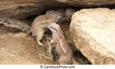 Gopher looks for enemies - The gopher climbed out of the...