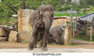 The female Indian elephant standing and looking at camera,...