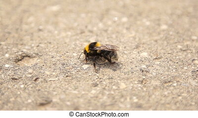 Infected bumble bee dying at the road