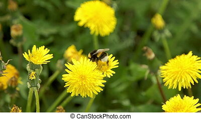 Two bumblebee pollinate a dandelions flitting from flower to...