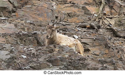 Mountain goat resting on a rocky slope, close up,