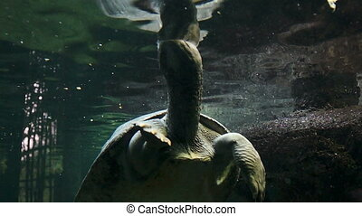 Large water turtle taking in air
