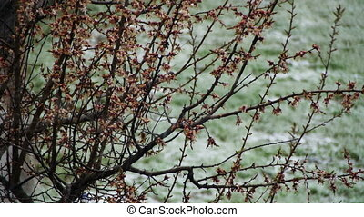 Abnormal weather. Snow goes on the Flowering Tree of...