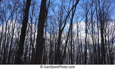 trees without leaves in the forest