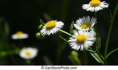 Wild meadow chamomile flowers in wind over green - Wild...