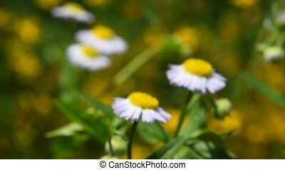 Wild meadow chamomile flowers over green background of...