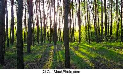 Morning in the wood. Sun's rays pass through the trees