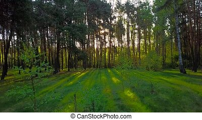 Morning in the wood. Sun's rays pass through the trees -...