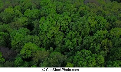 Flight above the green coniferous forest - aerial survey